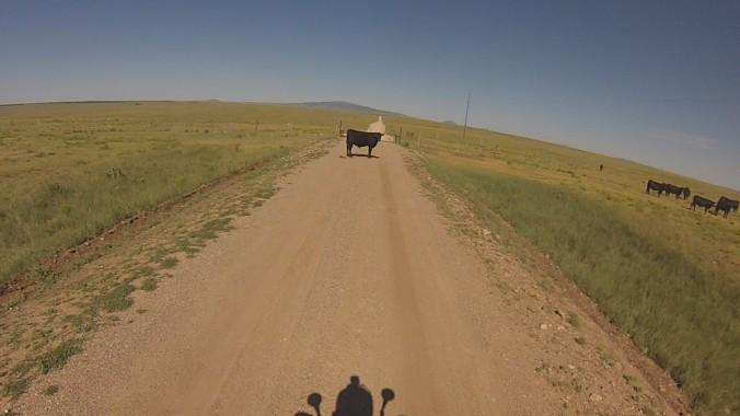 Cow (2)